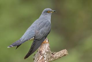 DSC8850  Cuckoo...