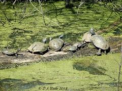 Basking Turtles (Picsnapper1212) Tags: turtle painted map reptile animal nature springvalleywildlifemanagementarea warrencounty ohio