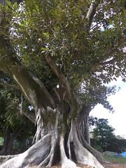 Large old Moreton Bay fig (Ficus macrophylla) (tanetahi) Tags: brisbane queensland australia ficusmacrophylla moraceae native fig australian moretonbayfig park westend arfp nswrfp qrfp ficus subtropicalarf trunk dryarf
