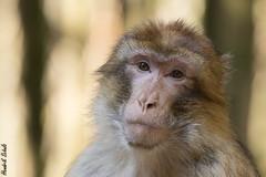 Berberaffe - Barbary Macaque (HendrikSchulz) Tags: 2018 affen affenberg april ausflug barbarymacaques berberaffe berberaffen canon canonef70200f4lusm canoneos7dmarkii hendrikschulz hendriktschulz salem wald monkey monkeys