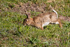 ©Mark Kras-Konijn-_DWL2912.jpg (markkras-fotografie) Tags: zoogdieren konijn fauna europeanrabbit oryctolaguscuniculus nederland nl