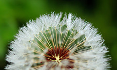 Dew Time (Colin Weaver) Tags: flower dandelion seeds nature