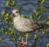 Hey, did you bring me fish and chips?! (LeanneHall3 :-)) Tags: white grey seagull feathers bird closeup closeupphotography green leaves woodenpost eastpark hull kingstonuponhull canon 1300d