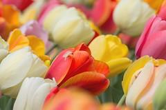 Wind Blown Tulips (lisajohnston4) Tags: windy wind aprilflowers april springtime spring colorado denver denverbotanicgardens garden florals flowers floral flower bloom colorful colors tulips