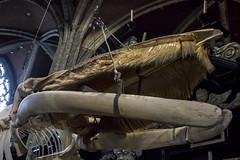 """Whale Spotting"", Sint-Baafskathedraal, Gent, Belgium (IFM Photographic) Tags: img1951a canon 600d ef2470mmf28lusm ef 2470mm f28l usm lseries ghent gent gand flemishregion eastflanders belgium sintbaafskathedraal saintbavoscathedral sintbaafscathedral whale skeleton leo whalespotting régionflamande vlaamsgewest flandreorientale ostflandern oostvlaanderen flanders flandre flandern vlaanderen belgië belgique belgien"