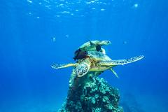turtle1Mar29-18 (divindk) Tags: cheloniamydas hawaii hawaiianislands honu malaramp maui places underwater diverdoug endangeredspecies greenseaturtle marine ocean reef sea seaturtle turtle underwaterphotography