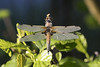 Enjoying the sun (Fred Christoffels) Tags: nature animals macro canon outdoor dragonfly sigma insects flora fauna 80d 2018 vanguard