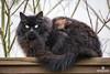 Monster (matthewolsonphotography.com) Tags: cat kitty feralcat straycat feline animal blackcat pet pets furry