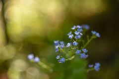 Brunnera. (agnieszka.a.morawska) Tags: manualfocus manuallens helios44m helios beyondbokeh bkhq bokehlicious bokeh kwiat flower blue blueflower brunnera