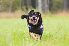 Maximus (Nymeriana) Tags: dog outdoor koira mixbreed xbreed rescue spanish rottweiler mutt mastiff summer outdoors