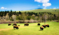 Buffalo Junction (dianestoner001) Tags: montana buffalo