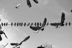 Leggeri - Light. (sinetempore) Tags: piccioni pigeons uccelli birds volare tofly volo flight cielo sky ali wings leggeri light biancoenero blackandwhite