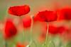 rosso papavero (mat56.) Tags: fiori flowers papaveri papavero poppies poppy campagna sancolombanoallambro milano lombardia pianura padana rosso red natura nature antonio romei mat56