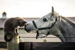 Z and Charles (Jen MacNeill) Tags: rozearabians arabian horse horses connection animals pet pets cat feline equine friends friend curious curiosity