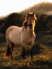 Wild horse, Bergen aan Zee, Holland (KevinBJensen) Tags: wild horse golden hour sundown light white dress wildhorse duinen noordhollands duinreservaat bergen aan zee paard karel ton
