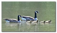 Bernaches du Canada  - Canada Goose (Bob_Reinert) Tags: faune oiseaux birds bobreinert bernaches geese goose nature nikon alsace france couvée