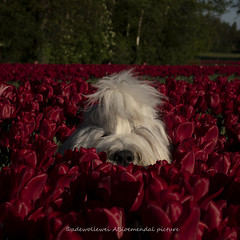 Lucy's pee ka boo (dewollewei) Tags: lucy wickedwisdoms oes bobtail dewollewei oldenglishsheepdog oldenglishsheepdogs old english sheepdog flowers tulips tulipfields red white pee ka boo