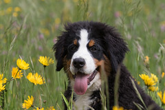 halbstarker Berner :-) (HendrikSchulz) Tags: 2018 canon canonef70200f4lusm canoneos7dmarkii garten haustier haustiere haustierfotografie hendrikschulz hendriktschulz hunde hundefotografie mai may tiana tier tiere tierfotografie animal animalphotography animals dog dogphotography dogs drausen outside pet petphotography pets zuhause berner bernersennen bernersennenhund bernesemountaindog mountaindog sennenhund bmd bouvierbernois boyerodeberna