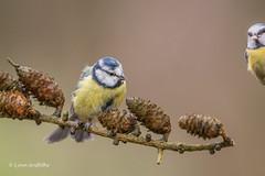 Blue Tit - Peek-a-boo D85_2523.jpg (Mobile Lynn) Tags: nature birds tits bluetit bird fauna oscines passeri passeriformes songbird songbirds wildlife