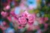 ILCE-7M2-09522-20180512-1249 // Nikon Nikkor-SC Auto 55mm 1:1.2 (Otattemita) Tags: 55mmf12 florafauna nikonaid nikonnikkorscauto55mmf12 nikonnonai nikonpreai nipponkogaku fauna flora flower nature plant wildlife nikonnikkorscauto55mm112 sony sonyilce7m2 ilce7m2 55mm cnaturalbnatural ota