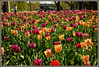 Ottawa flowers (Martin Stringer) Tags: ottawa flowers beauty landmarks ontario canada floral tulips tulipfestival scenics landscapes