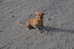 (BurnThePlans) Tags: holiday hebridies uist scotland highlands dog play labrador sand gale wind