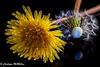 Low Key - Macro Mondays (Carolynn McMillan) Tags: dandelion seeds yellow plague lowkey macromondays