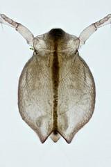 Ceriodaphnia (mr.sansibar) Tags: crustacea arthropoda plankton planapo zooplankton freshwater pondlife focusstacking olympusbh2 photomicrography microscopy heliconfocus waterflea cladocera ceriodaphnia