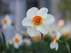 Evening daffodils (Genie W.) Tags: torontomusicgarden musicgarden toronto spring flowers canonpowershotsx40hs daffodils blooms