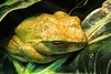 Ribbit! (Viejito) Tags: boophisalbilabris whitelippedtreefrog sapotoro frog toad sapo rana kikker pad grenouille frosch ضفدع лягушка bullfrog amphibia mantellidae semiaquatic amnh naturalhistory museum science research centralpark manhattan newamsterdam nyc newyork newyorkcity bigapple geotagged geo:lat=40781372 geo:lon=73974158 ny canon s100 canons100 powershot usa unitedstates amerika amérique américa museo musée collection i♥ny fingers claw ribbit cruácruá kwak croak croar venom