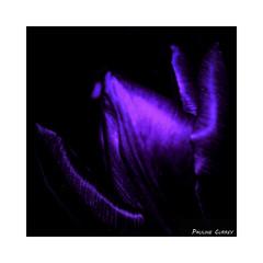 Deep Purple (paulinecurrey) Tags: lowkey macromondays closeup camera photoshop contrast purple spring tulip black flower plant petals