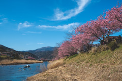 The earliest cherry blossom in Japan (Vienna W.) Tags: cherry blossom cherryblossom japan japanese kawazu sakura zakura landscape river bluesky trees