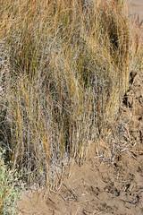 Flora del saladar, Delta del Ebro: Ammophila arenaria (esta_ahi) Tags: deltadelebro saladar vegetación halófila flora playa ammophila arenaria ammophilaarenaria barrón borró gramineae poaceae baixebre tarragona spain españa испания
