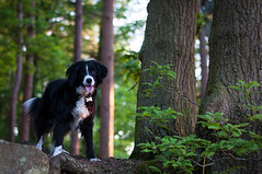 Mali (Captain192) Tags: dog dogs collie spaniel spanielcolliecross bordercollie sprollie outwoods theoutwoods trees woods spring evening