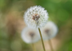 three wishes (Emma Varley) Tags: dandelion clock seedheads flower makeawish orthree shallowdepthoffield dreamy nature