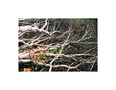 8 (kotmariusz) Tags: branches birchtree fallen woods tree nature poland forest analog 35mm filmphotography olympusom40 zuikoautos50mm fujisuperia