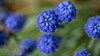 Grape Hyacinth (DJNstudios) Tags: flower flowers bloom blossom spring petal petals pollen cherry buttercup macro macrophotography lenses hyacinth bokeh depth field dof