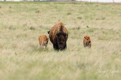 Bison calves hanging out with mama