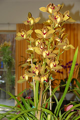 """Orchid Society of California """"Mothers' Day Weekend Orchid Show & Sale; Cymbidium Unknown orchid hybrid 5-18 (nolehace) Tags: cymbidium unknown orchid hybrid 518 orchidsocietyofcalifornia mothersday show sale society california mothers day weekend showsale 2018 flower bloom plant spring nolehace sanfrancisco oakland lakemerritt fz1000"""