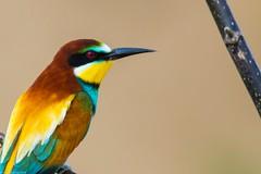 20mai18_04_prigorii prundu 04 (Valentin Groza) Tags: prigorie prigorii bee eater merops apiaster romania summer bird flight bif birdwatching outdoor