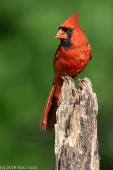Northern Cardinal (Matt Cuda - www.mattcuda.com) Tags: cardinal northerncardinal bird birds card cardinals forsyth forsythcounty male nc northcarolina perch perched perching songbird songbirds spring springtime
