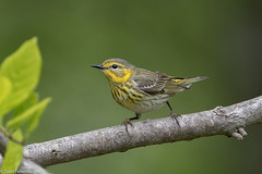 CA3I8957-Cape May Warbler (tfells) Tags: capemaywarbler songbird bird migration passerine newjersey mercer nature wildlife