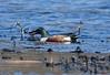 033118109198asmweb (ecwillet) Tags: northernshoveler shoveler duck nikon nikond500 ecwillet ericwillet