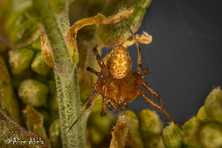 Sixspotted Orbweaver (Araniella displicata) - Male
