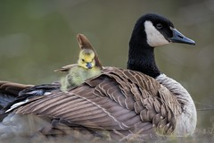 Mother Goose (PhillymanPete) Tags: spring d800e nikon baby canadiangoose gosling goose wildlife nature bird