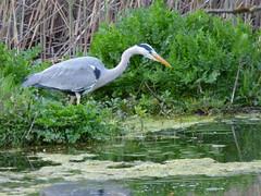Heron (LouisaHocking) Tags: heron cardiff nature wildlife wild british bird birds forestfarm