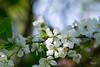 Kirschblüten (junghahn24) Tags: berlin blossom blüte cherry frühling griechischelandschildkröte kirsche landschildkröte olympus olympusm45mmf18 olympusomd olympusomdem5 schildkröte speedy spring teamolympus turtle deutschland de