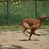 DSC_3075 (SergioTOCA_MORENO) Tags: cornella canmercader barcelona catalunya catalonia galgo greyhound movimiento velocidad movement speed fotografia nikon