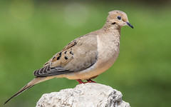 Mourning Dove (explored 04/27/2018) (Lynn Tweedie) Tags: rock colorful 7dmarkii eos bokeh bird animal green mourning canon dove ngc ef400mm56lusm grass ef400mmf56l usm