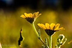 Au coucher du soleil. (Bouhsina Photography) Tags: coucher soleil canon ef100mm bouhsia bouhsinaphotography jaune bokeh profondeur champs